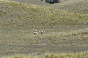 Pronghorns dueling.